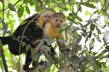 Monkeys in the Cabo Blanco Reserve