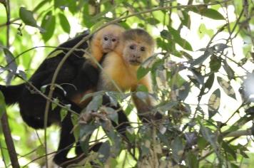 Monkeys in the Cabo Blanco Reserve